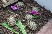 Griechische Landschildkröten und Steppenschildkröten von