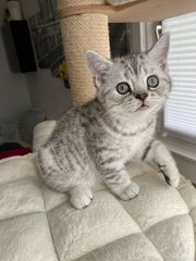 Reinrassige BKH Kitten mit Impfung