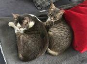 zwei zutrauliche verschmuste weibliche Katzen