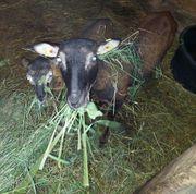 Kamerun Schafe weibchen
