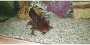Axolotl und Aquarium Auslösung