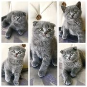 Scottish Fold BKH Kätzchen