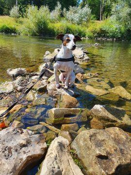 Hunde - Jack-Russel Terrier sucht Hündin zum