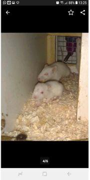 Süße Ratten