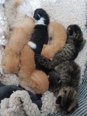8 Main Coon Mix Kitten