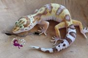 Leopardgecko 0 1 Weibchen Raptor