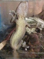 Gecko auratus