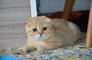 Wunderschöne reinrassige Scottich Fold Babykatzen