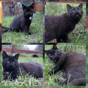 Wunderschöner Baby Kater Kitten Lenny
