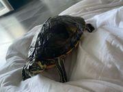 Schildkröten mit Glasbecken