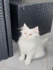 1 weißes Perserbaby