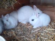 Hasen Zwerghasen Zwergkaninchen Kaninchen