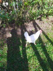 Huhn weißes
