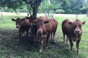 Limousin Herdbuch Rinder Hornlos