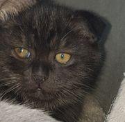 Scottish fold Kitten Kater ab