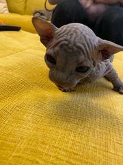 Kitten donn sphinx
