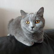 BKH Katze blue 1 5