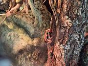 Dreistreifen Baumsteiger