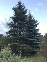 Fichte Tanne Weihnachtsbaum Brennholz Bauholz