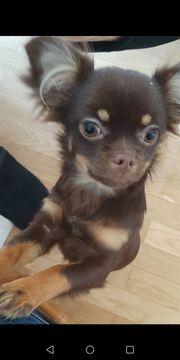 Chihuahua reinrassig weiblich langhaar 8