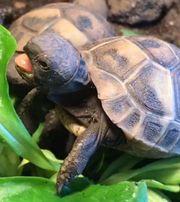 1-jährige griechische Landschildkröten Babys