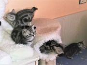 Reinrassige Wiskas Kitten Black-Silber-Classic-Taddy mit