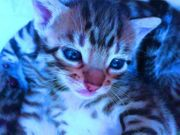 Siam Bengal Mix Kitten in