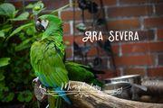 Henne Ara Severa Rotbugara gesucht
