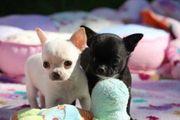 Bischon Gechipt Babys Chihuahua Welpen