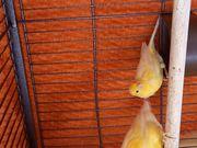 Kanarienvögel-Belgischer Wasserschläger