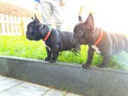 Reinrassige Französische Bulldogge