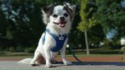 Deckrüde langhaar Chihuahua kein Verkauf