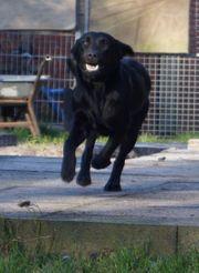 Labradorrüden suchen ein Zuhause