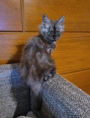 Reinrassige Maine Coon Kitten in
