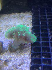 Diverse Korallen abzugeben 10 pro