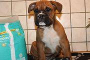 6 Oldenglische Bulldoggen Welpen oldenglish