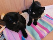 Zwei zuckersüß BkH Katzenbaby abzugeben