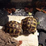 2 Landschildkröten Nachzucht Testudo hermanni