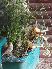 Kanarienvögel aus Aussenvoliere