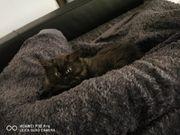 2 super süße langhaar Kitten