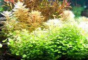 3-teiliger Wassernabel Rarität Aquariumpflanzen Versand