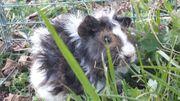 Junge wuschelige Meerschweinchen Lunkarya aus