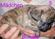 Franz Bulldogge Welpen