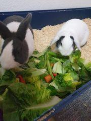 Kaninchenpaar in guten Händen abzugeben