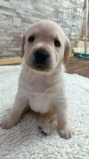 süße Labrador Welpen
