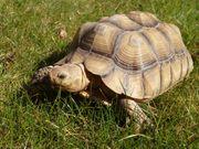 Afrikanische Spornschildkröte Sulcata Weibchen ca