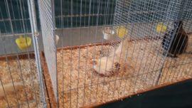 Zwerg-Yokohama Bruteier Hühner: Kleinanzeigen aus Karlsruhe Hohenwettersbach - Rubrik Nutztiere