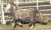 Schicke 4-jährige Welsh-A Stute Stm