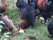 Marans Hühner schwarz kupfer abzugeben