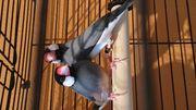 Reißfinken paar